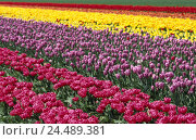 Купить «Tulip field, detail, tulips, blossoms, differently, Europe, Germany, North Rhine-Westphalia, Grevenbroich, bands, flower field, economy, agriculture, cultivation...», фото № 24489381, снято 7 ноября 2005 г. (c) mauritius images / Фотобанк Лори