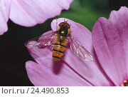 Купить «Blossom, petals, pink, detail, Winterschwebfliege, Episyrphus, balteatus nature, zoology, animal world, animal, animals, insect, insects, flight insect...», фото № 24490853, снято 30 ноября 2004 г. (c) mauritius images / Фотобанк Лори