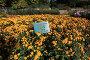 Хризантема садовая. Никитский ботанический сад, эксклюзивное фото № 24496289, снято 24 октября 2016 г. (c) Яна Королёва / Фотобанк Лори