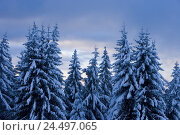 Купить «Austria, Vorarlberg, Bregenz, securities, winter scenery, trees, detail,», фото № 24497065, снято 26 февраля 2008 г. (c) mauritius images / Фотобанк Лори