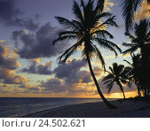 Купить «The Dominican Republic, Punta Cana, beach, palms, morning mood, the Caribbean, island, destination, tourism, sea, water, trees, plants, outside, silhouette...», фото № 24502621, снято 28 июля 2009 г. (c) mauritius images / Фотобанк Лори