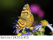 Купить «Thistle butterfly, Vanessa cardui, blossom,», фото № 24513413, снято 9 декабря 2009 г. (c) mauritius images / Фотобанк Лори