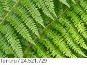 Купить «Fern leaves, two, detail,», фото № 24521729, снято 17 августа 2018 г. (c) mauritius images / Фотобанк Лори