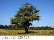 Купить «Meadow, common oak, Quercus robur, scenery, rurally, plants, trees, broad-leaved trees, oak, common oak, summer oak, summer oak, beech family, old, gnarledly...», фото № 24525133, снято 9 марта 2009 г. (c) mauritius images / Фотобанк Лори
