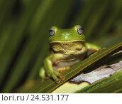 Купить «Grass, foliage-frog, coral-fingers, Litoria caerulea, detail, wildlife, animal, amphibian, amphibian, frog-amphibian, frog, coral-finger-foliage-frog,...», фото № 24531177, снято 16 августа 2018 г. (c) mauritius images / Фотобанк Лори