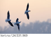 Купить «Black-headed gulls, Larus ridibundus, three, fly, hunt, food, nature, animals, birds, gulls, wings, stretched out, flapping of wings, flight, blur, whole body, envy, jealousy, evening light,», фото № 24531969, снято 20 июля 2018 г. (c) mauritius images / Фотобанк Лори