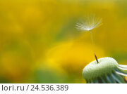 Купить «Dandelion, Taraxacum officinale, wither, breath flower, seeds, close-up,   Series, nature, botany, flora, plant, flower, bloom head, fruit stand, without...», фото № 24536389, снято 9 декабря 2018 г. (c) mauritius images / Фотобанк Лори