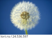 Купить «Dandelion, Taraxacum officinale, wither, breath flower, detail,   Series, nature, botany, flora, plant, flower, seeds, without delay amen, tender, fragile...», фото № 24536597, снято 9 декабря 2018 г. (c) mauritius images / Фотобанк Лори