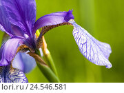 Купить «Siberian iris, iris sibirica, close up,», фото № 24546581, снято 20 августа 2018 г. (c) mauritius images / Фотобанк Лори