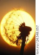 Купить «Dandelion, Taraxacum officinale, wither, breath flower, silhouette,  Sunset, close-up,  Series, nature, botany, flora, plant, flower, bloom head, fruit...», фото № 24548057, снято 18 сентября 2018 г. (c) mauritius images / Фотобанк Лори