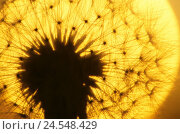 Купить «Dandelion, Taraxacum officinale, wither, breath flower, silhouette,  Sunset, close-up,  Series, nature, botany, flora, plant, flower, bloom head, fruit...», фото № 24548429, снято 9 декабря 2018 г. (c) mauritius images / Фотобанк Лори
