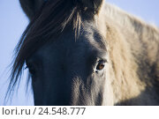 Купить «Germany, Dülmen pony, head, detail, eyes,», фото № 24548777, снято 19 января 2019 г. (c) mauritius images / Фотобанк Лори