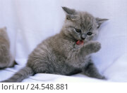 Купить «Kittens, Kartäuser, fur care,     Animal, mammal, pet, cat, young, race cat, cat race, fur, gray, gray-blue, short-haired, cuddly, cutely, nicely, animal child, tongue, paw, licks, interior,», фото № 24548881, снято 20 августа 2018 г. (c) mauritius images / Фотобанк Лори
