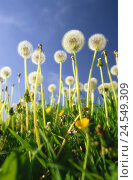Купить «Meadow, dandelion, Taraxacum officinale, wither, breath flowers, perspectives,   Nature, botany, flora, flower meadow, dandelion meadow, plants, flowers...», фото № 24549309, снято 21 мая 2018 г. (c) mauritius images / Фотобанк Лори
