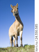 Купить «Germany, Merfelder Bruch, Dülmen pony, meadow, worm's-eye view,», фото № 24550585, снято 19 января 2019 г. (c) mauritius images / Фотобанк Лори