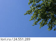 Купить «Poplar, Populus, detail, semen flight,», фото № 24551289, снято 15 сентября 2009 г. (c) mauritius images / Фотобанк Лори