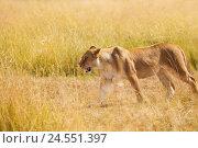 Купить «Portrait of lioness hunting in the nature habitat», фото № 24551397, снято 19 августа 2015 г. (c) Сергей Новиков / Фотобанк Лори