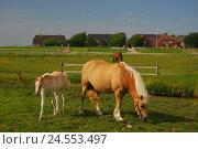 Купить «Germany, Schleswig - Holstein, north frieze country, Hallig Hooge, Backenswarft, paddock,», фото № 24553497, снято 29 сентября 2009 г. (c) mauritius images / Фотобанк Лори