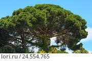 Купить «Conifer trees on sky background.», фото № 24554765, снято 31 мая 2016 г. (c) Юрий Брыкайло / Фотобанк Лори