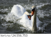 Купить «Hump-swans, Cygnus olor, water, advertises, performs courtship display,», фото № 24556753, снято 24 мая 2018 г. (c) mauritius images / Фотобанк Лори