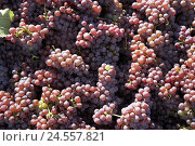 Купить «Vine harvest, grapes, red, detail, Sancerre, France, red wine grapes, grapes, fruits, harvested, harvest time, harvest, harvest, harvest, agriculture, economy, wine-growing, viticulture, yield, sunny,», фото № 24557821, снято 20 августа 2018 г. (c) mauritius images / Фотобанк Лори