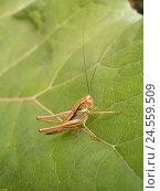 Купить «Roesel's bush-cricket, female on leaf,», фото № 24559509, снято 18 января 2018 г. (c) mauritius images / Фотобанк Лори