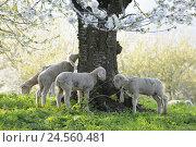 Купить «Meadow, sheep, young animals, graze,», фото № 24560481, снято 17 августа 2018 г. (c) mauritius images / Фотобанк Лори