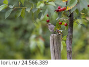 Купить «Black redstart in sour cherry tree, Phoenicurus ochruros, old bird, female,», фото № 24566389, снято 22 апреля 2018 г. (c) mauritius images / Фотобанк Лори