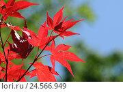 Купить «Professional maple, Acer palmatum, red, leaves, autumn, Germany,», фото № 24566949, снято 1 июня 2011 г. (c) mauritius images / Фотобанк Лори