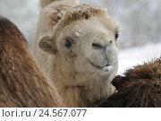 Купить «Bactrian camel, Camelus ferus, portrait, front view, standing, snow, winter, looking at camera,», фото № 24567077, снято 16 июля 2018 г. (c) mauritius images / Фотобанк Лори