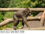 Купить «Mandrill, Mandrillus sphinx, branch, trunk, side view, running, focus on the foreground,», фото № 24567109, снято 18 января 2018 г. (c) mauritius images / Фотобанк Лори