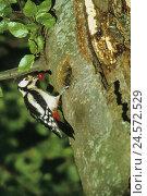 Купить «Spotted woodpecker, Dendrocopos major, trunk, berry, feeding,», фото № 24572529, снято 14 ноября 2018 г. (c) mauritius images / Фотобанк Лори