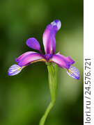 Купить «Marsh iris, iris versicolor,», фото № 24576721, снято 30 сентября 2010 г. (c) mauritius images / Фотобанк Лори