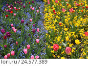 Купить «Tulips, forget-me-not and pansy,», фото № 24577389, снято 30 сентября 2010 г. (c) mauritius images / Фотобанк Лори