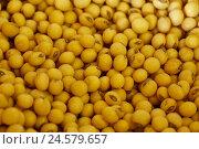 Купить «Soy sowing, close up, semen, sowing, sowing centre punch, soy centre punch, soy beans, yellow, around,», фото № 24579657, снято 6 мая 2008 г. (c) mauritius images / Фотобанк Лори