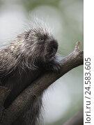 Купить «Tree, North American porcupine, Erethizon dorsatus, portrait, branch, zoo, game park, animals, wild animals, mammals, rodent, porcupine, spiny, protective...», фото № 24583605, снято 21 ноября 2018 г. (c) mauritius images / Фотобанк Лори