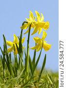 Купить «Garden, yellow narcissi, Narcissus pseudonarcissus,», фото № 24584777, снято 23 марта 2009 г. (c) mauritius images / Фотобанк Лори
