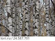 Природный рисунок для ситцевой ткани (берёзовые стволы) Стоковое фото, фотограф Анатолий Платонов / Фотобанк Лори