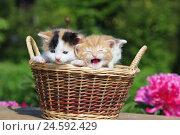Купить «House cats, young animals, basket,», фото № 24592429, снято 14 ноября 2018 г. (c) mauritius images / Фотобанк Лори