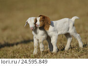 Купить «Boer goats, two kids,», фото № 24595849, снято 20 апреля 2019 г. (c) mauritius images / Фотобанк Лори
