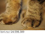 Купить «Domestic cat, Felis silvestris catus, detail, paws, close up,», фото № 24598389, снято 21 июля 2018 г. (c) mauritius images / Фотобанк Лори