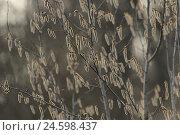 Купить «Canadian poplar, Populus x canadensis, Germany,», фото № 24598437, снято 18 сентября 2018 г. (c) mauritius images / Фотобанк Лори