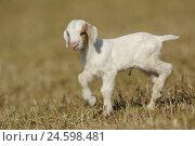 Купить «Boer's goat, kid,», фото № 24598481, снято 15 марта 2011 г. (c) mauritius images / Фотобанк Лори