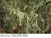 Купить «Spain, grain Canaria, lichens, barber's itches, Usnea barbata, close Vega de San Mateo,», фото № 24599569, снято 15 февраля 2008 г. (c) mauritius images / Фотобанк Лори