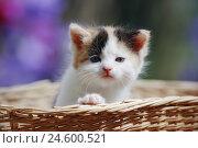 Купить «House cat, young animal, basket,», фото № 24600521, снято 6 ноября 2007 г. (c) mauritius images / Фотобанк Лори