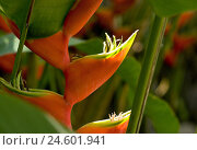 Купить «Brazil, Salvador, flower, three-coloured, lobster scissors, Heliconia wagneriana, detail, blossoms, plant, flower, Helikonie, blossom, inflorescences, inflorescence, nature, botany,», фото № 24601941, снято 13 ноября 2007 г. (c) mauritius images / Фотобанк Лори
