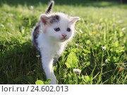 Купить «House cat, young animal, meadow,», фото № 24602013, снято 6 ноября 2007 г. (c) mauritius images / Фотобанк Лори