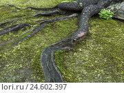 Купить «Tree root, root, trunk, tree bark, moss, green,», фото № 24602397, снято 16 ноября 2007 г. (c) mauritius images / Фотобанк Лори