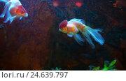 Купить «Red And White Oranda Goldfish Against Air Bubble Curtain In Home Aquarium», видеоролик № 24639797, снято 13 декабря 2016 г. (c) Сергей Кальсин / Фотобанк Лори