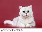 Купить «Silvery chinchilla british kitten cat», фото № 24639985, снято 10 декабря 2016 г. (c) Дмитрий Калиновский / Фотобанк Лори
